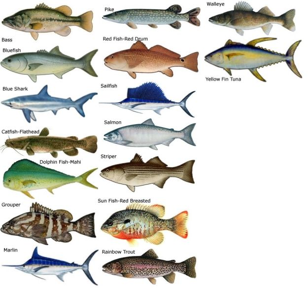 Types of saltwater fish research common types of salt for Best type of fish to eat