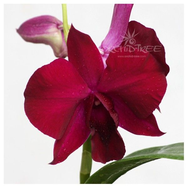 #dendrobium-supernova-orchidtree #chennai #buy
