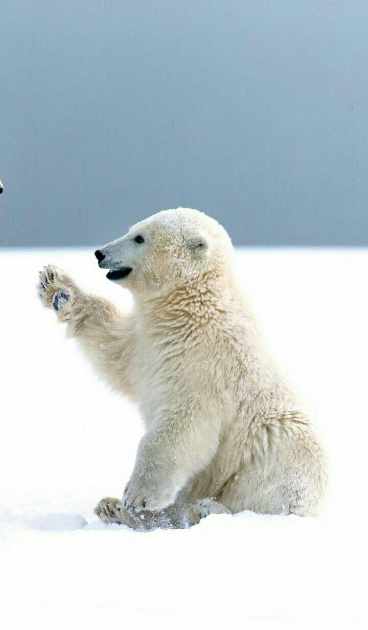 Pin By Bixley On Animales Polar Bear Wallpaper Cute Polar Bear Polar Bear