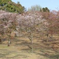 八幡山公園のお花見 写真・画像【フォートラベル】|宇都宮
