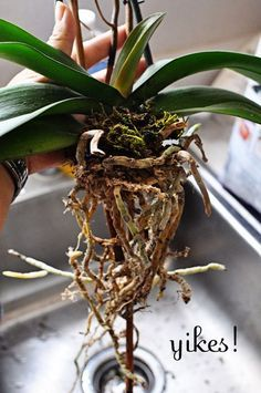 How To Re Pot Orchids