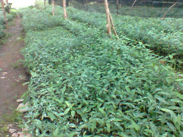 Bibit gaharu (agarwood) aquilaria malaccensis inokulasi gaharu 081251826868
