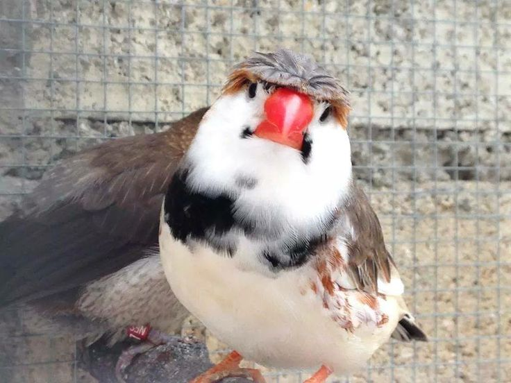 1000+ images about Zebra Finch on Pinterest | Birds, The ...