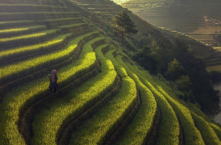 Vietnam dünya nüfusunun yaklaşık yarısı için temel gıda maddesi olan pirinci en çok ihraç eden ülkeler arasında Tayland'dan sonra ikinci sırada. Yüzyıllardır kesintisiz pirinç ekimi için kullanılan bu teraslar inanılmaz doğa manzaraları oluşturuyor. Yolunuz Vietnam'a düşerse burayı görmeden dönmeyin! (South East Asia Yenbai Vietnam) #rice #terrace #vietnam #travel #belgesel #pirinç #worldtour #dünyaturu #belgeseladam #photooftheday #photography