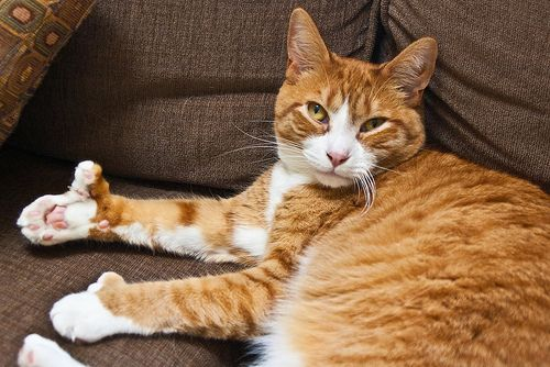 8 Best Polydactyl Cats Images On Pinterest Kitty Cats