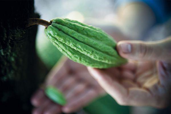 Cabosse de #cacao #bio de #Tanzanie. Nouvelle #recette pour notre crémeuh dessert au #chocolat #les2vaches