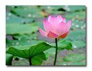 Slimming tea mengandung lotus (bunga teratai)