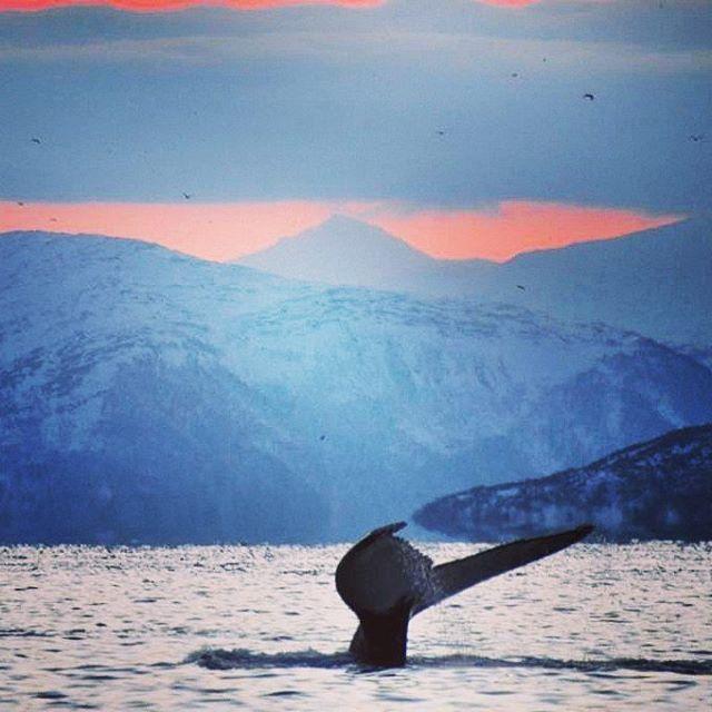 OK, one more! We can't help it. But it was such an A M A Z I N G day eventhough it was freezing cold. Whales are super cool #amazing #humpbackwhale #whale #whalesafari #kvaløya #tromsø #tromsøfriluftsenter #norge #norway #norges_fotografer #norges_fotogalleri #scandinavia #igscwildlife #igscandinavia #ignature #ignorway #danskerejseblogs #turengårtil #topåtur #twodanesontour #lonelyplanettraveller #rejseblog #visitnorway