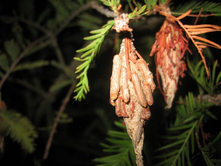 If you have bagworms, you are probably wondering about bagworm control, which starts with understanding the worm itself. Read this article to learn more about how to get rid of bagworms.