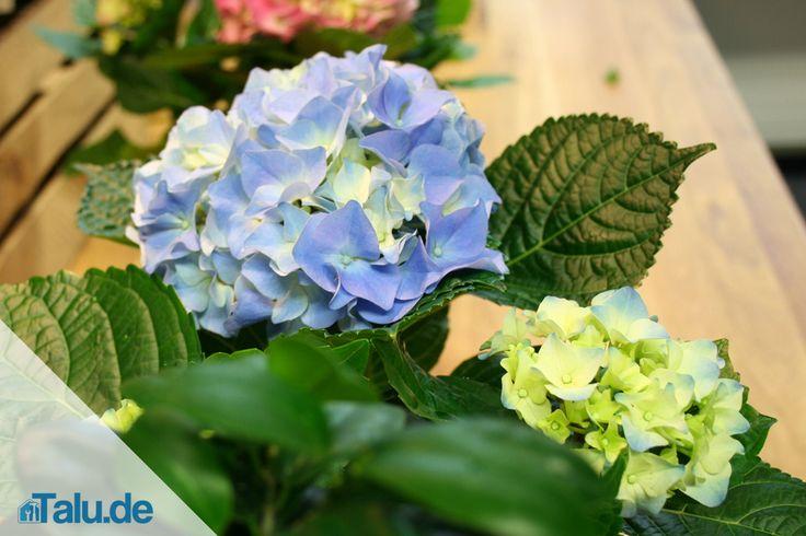 Die Blüten wie bei der Hortensie 'Endless Summer', die den ganzen Sommer über blühen, begeistern wirklich jeden. Wir geben Tipps zum Schneiden und Pflegen.