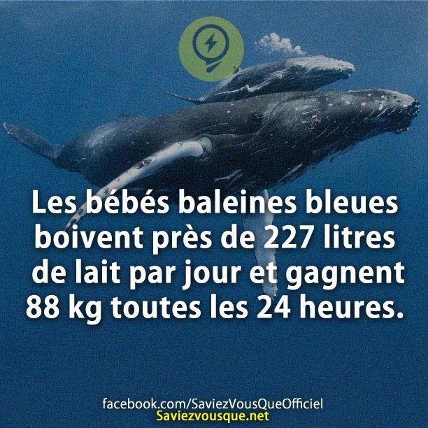 Les bébés baleines bleues boivent près de 227 litres de lait par jour et gagnent 88 kg toutes les 24 heures. | Saviez Vous Que?