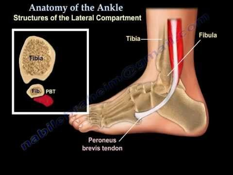 Educational video describing anatomical structures of the foot and ankle.    Become a friend on facebook:  http://www.facebook.com/drebraheim    Follow me on twitter:  https://twitter.com/#!/DrEbraheim_UTMC