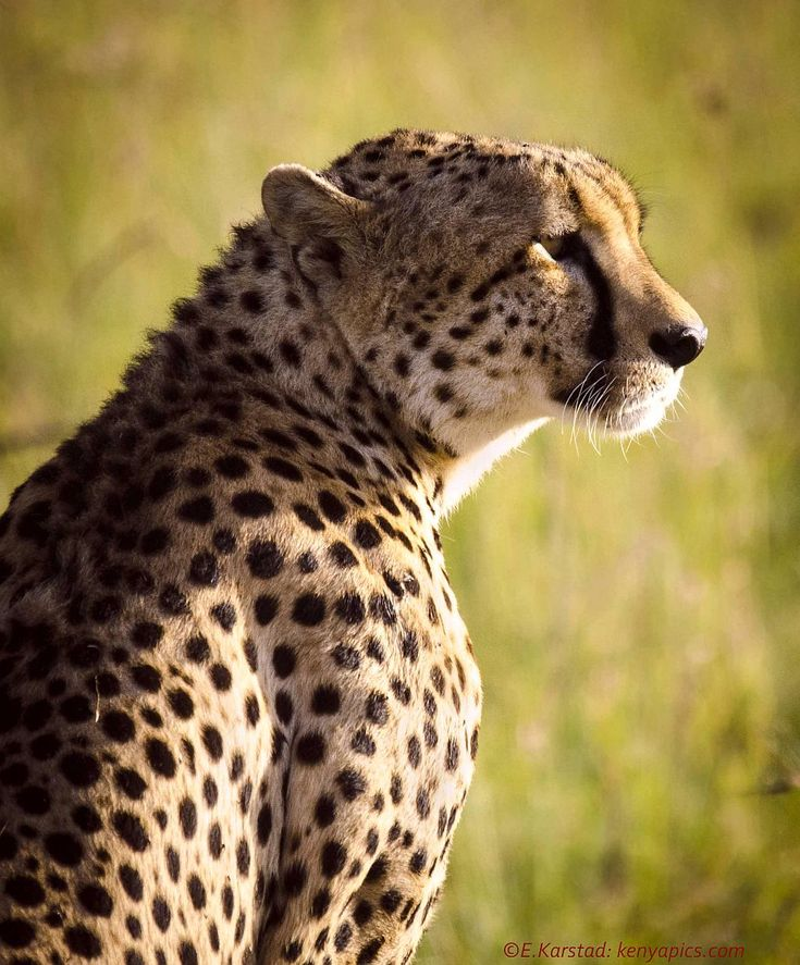15 Best Images About Cheetahs On Pinterest