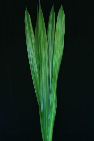 Gymea Leaves