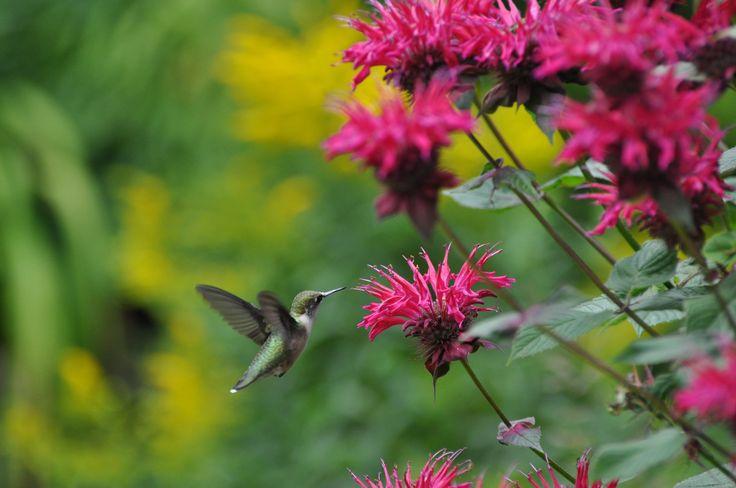 Colibri à gorge rubis sur des monardes.