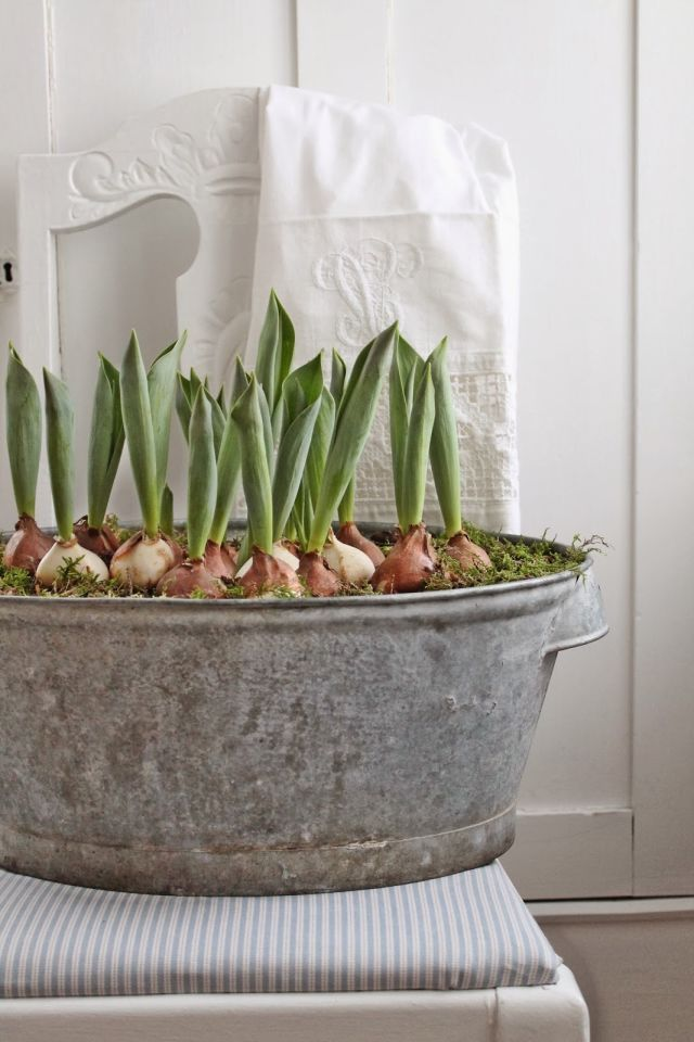 Instead of the usual glass vase, go big by planting tulips or hyacinths in a large galvanized tub.