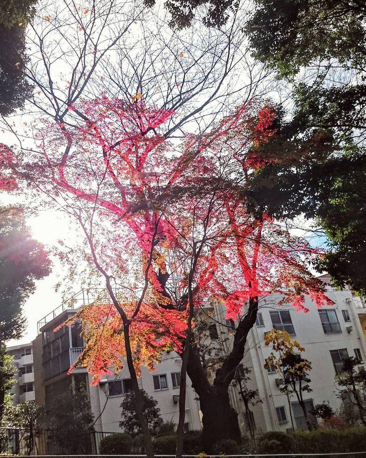 赤 #掃部山公園 #紅葉 #空 #夕日 #日本 #風景 #景色 #ダレカニミセタイソラ #写真好きな人と繋がりたい #そら #sun #sunshine #photo #instagram #japan #landscape #igers #igersjp #trees #leaves #sky #ig_japan #icu_japan #wu_japan #lovers_nippon #team_jp #winter #photooftheday #instagood #insta