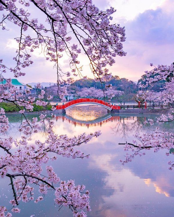 Cherry Blossoms And Nemophila Flowers Are Blooming In Japan Japanese Landscape Cherry Blossom Ja Japanese Landscape Nature Photography Landscape Photography