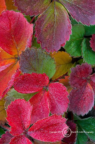 Fall Strawberry Leaves | David Cobb