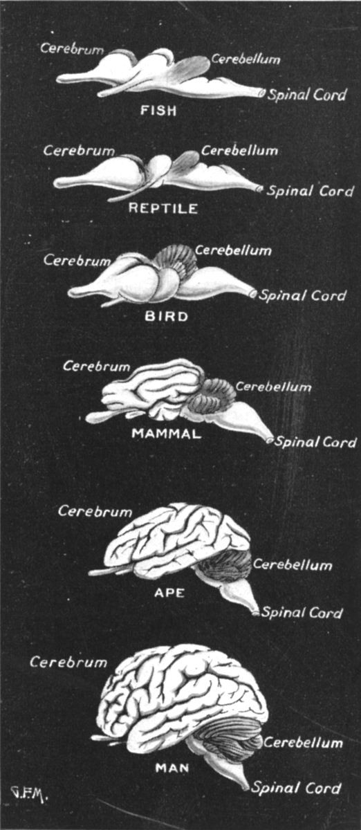 "Comparative brain anatomy.  Notice how our brains are much bigger than other animals', but have the same basic parts & layout.  Mammal brains do vary a lot by species, though, so I'm curious what animal they used for their ""typical"" mammal brain."
