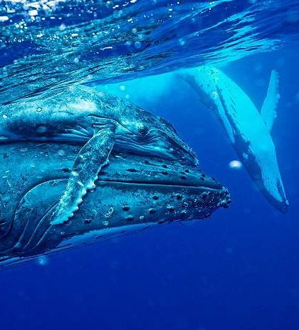 Humpback whale mother & Calf.  Seeing something similar to this when I was young is what made me fall in love with humpback whales!