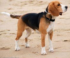 beagle   Beagle - Razas perros   Mascotas.