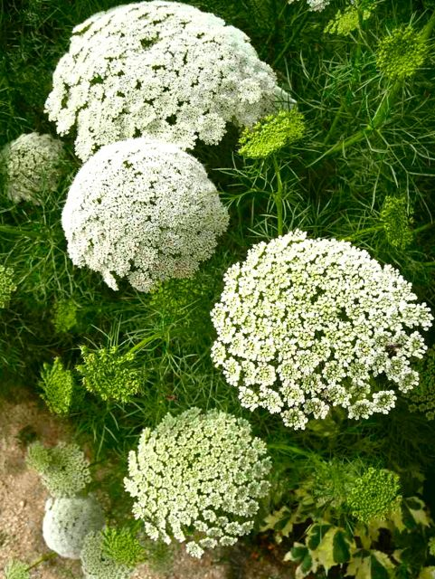 Queen Anne lace-such a pretty thing with beautiful smell! Hard to believe some consider it a weed...