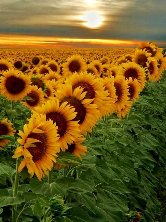Kansas Sunflowers follow the sun and actually move where they face as the sun moves during the day to sunset.