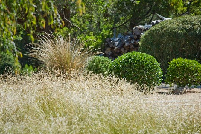 Meadow of Australian grasses and Buxus balls