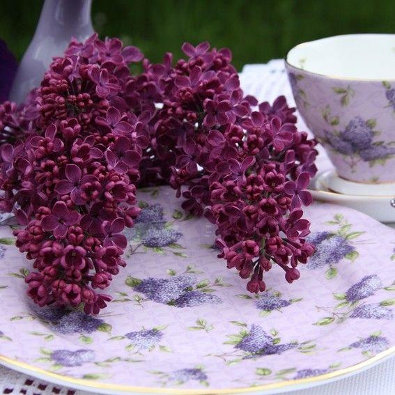 Flieder Syringa vulgaris 'Sarah Sands' - Purpurrote Flieder - Flieder-Premium Fliedertraum
