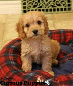 Super adorable puppies #cockapoo puppies
