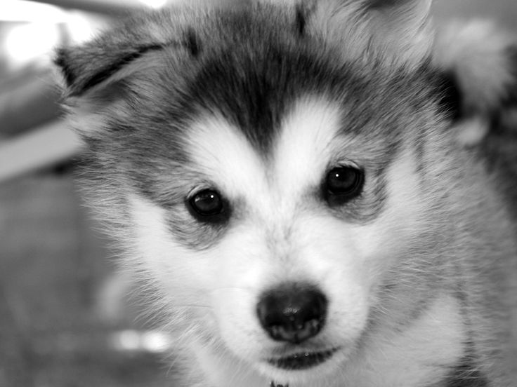 Cute Baby Siberian Husky Wallpaper Background | baby ...