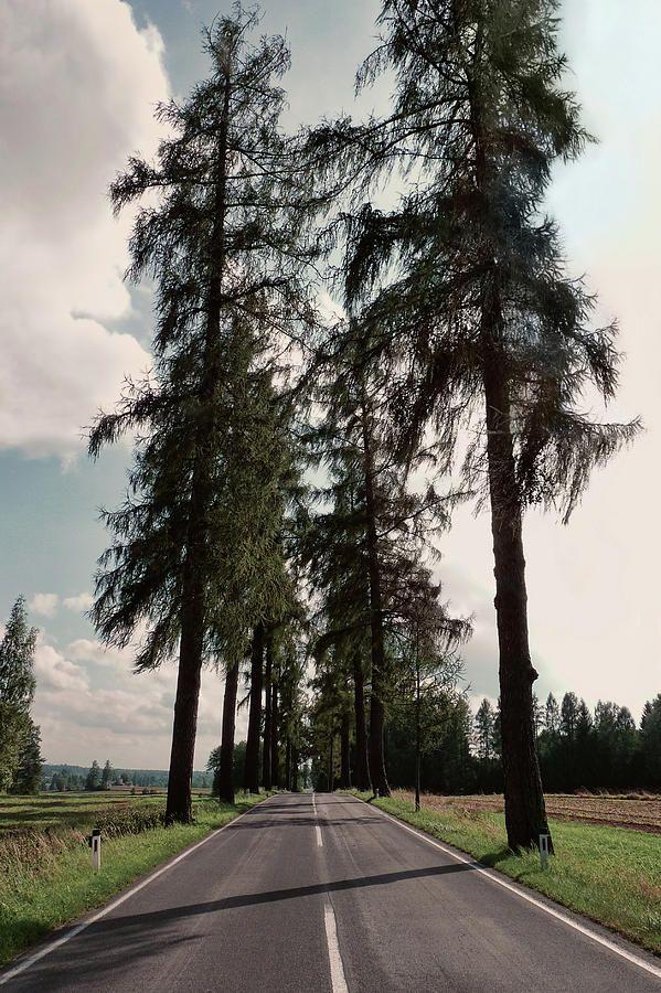 Larch Tree Photograph - Larch Tree Lined Avenue Heidenreichstein Waldviertel Austria by Menega Sabidussi #trees #austria #landscape #waldviertel