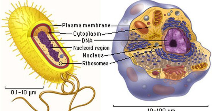 Cómo comparar las células eucariotas y las procariotas. Hay dos tipos de células: las procariotas y las eucariotas. Las células procariotas son las más antiguas. Todos los organismos están formados por estas células durante los primeros millones de años de vida en la tierra. Durante los últimos billones de años las células eucariotas han compuesto la mayoría de los organismos. Hay varias maneras de ...