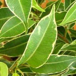 14. Нина, Nina — карликовый сорт, имеет тонкую белую оконтовку по краю листьев. Очень похож по форме листье на Наташу: