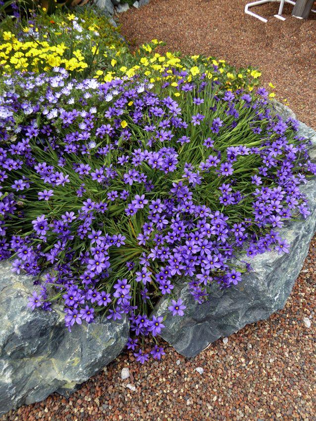 Picture of Live Blue Eyed Grass aka Sisyrinchium bellum Perennial Plant Fit 1 Gallon Pot