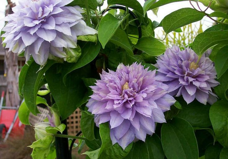 Clematis Belle of Woking - no pruning necessary