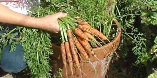 Growing carrots in plant containers ensures successful, pest free harvests. Follow my directions and photos for growing carrots and get bumper crops every time.