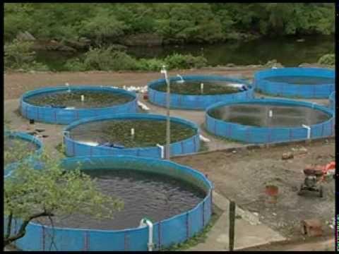 Proyecto piscicola de tilapia departamento del huila for Piscicultura en tanques plasticos