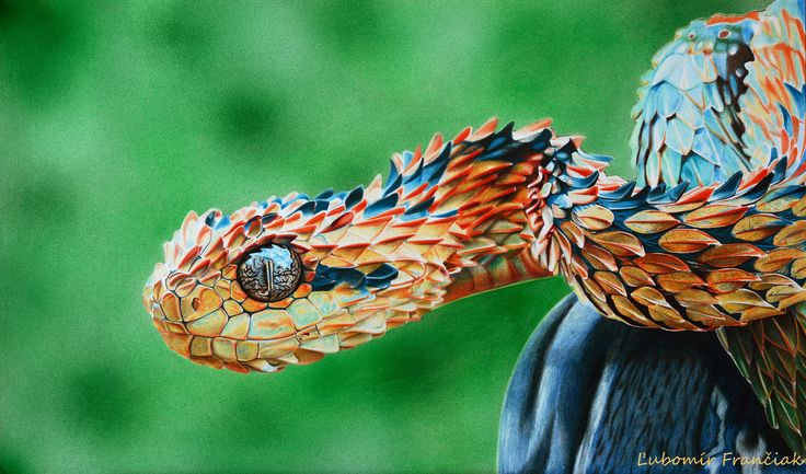 My first artwork drawn with colour pencils. Drawn hyperrealism colour viper. author: Ľubomír Frančiak