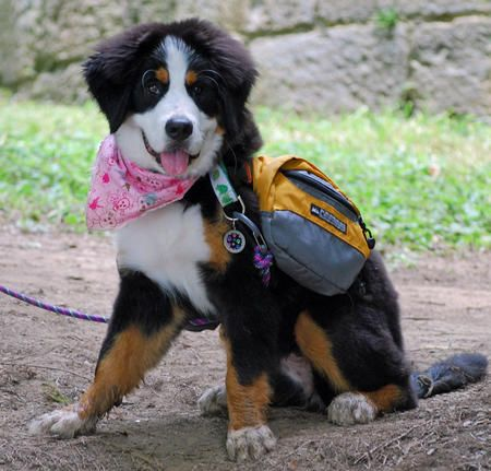 Lilly the Bernese Mountain Dog