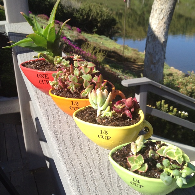 Measuring cup succulents