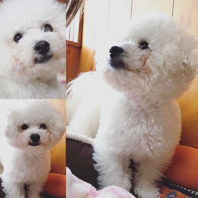 🐶大和(ビションフリーゼ) 右側picお気に入り もう大丈夫なの〜❓って 優しい顔して見てる大和🐶 寝込んでる間は ブラッシング出来なかったので 超ボサボサ😭🤣😆 #ビションフリーゼ#ビション #ボサボサ#ぼさふわ#もふもふ #真っ白#ホワイト#可愛い#愛犬 #犬#犬バカ部#ペット#親バカ #癒し犬#優しい表情#横顔 #男の子