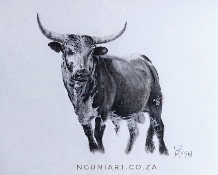 """""""Hlulani"""" - meaning Win / Conquer in Tsonga. Nguni Bull Charcoal Drawing on Paper  size: 37x29cm  2017"""