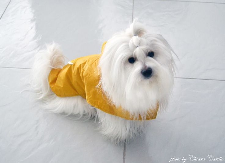 Rain! Chloe' Coton de Tulear