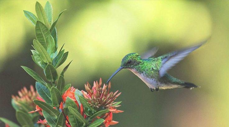La tarea es sencilla y económica, que permite disfrutar plenamente de la naturaleza. A estas aves las atraen las flores rojas, anaranjadas, amarillas, blancas, azules y moradas.