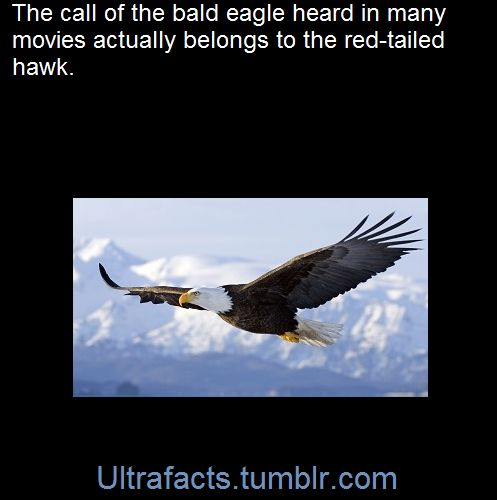 Hollywood decided to replace the real bald eagle call which is a pretty wimpy high-pitched cackle. You can listen to the real call of the eagle here and a red-tailed hawk call here. Bald eagleRed tailed HawkSourceFollow Ultrafacts for more facts