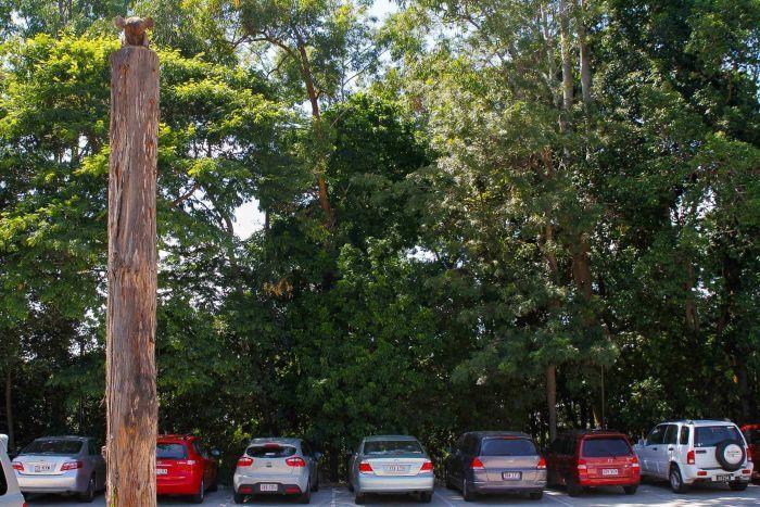 Koala in a car park