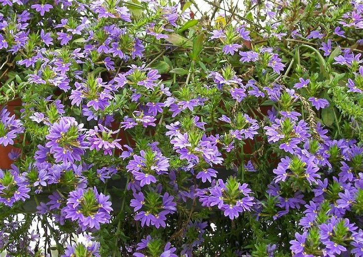 Scaevola saligna 'Summerflowers Blue Lagune' Blaue Fächerblume