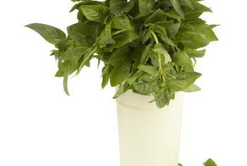 Rid basil of whiteflies and aphids #2